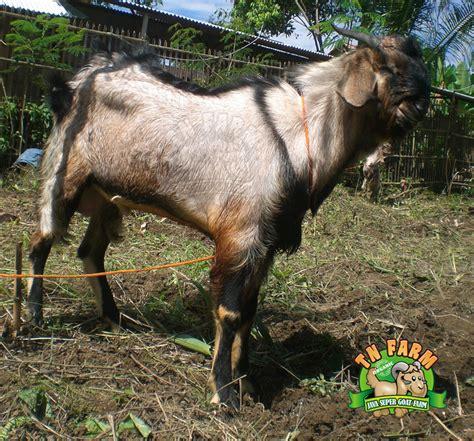 Jual Bibit Kambing Gibas Jawa Timur pusat budidaya kambing indonesia fattening and trading