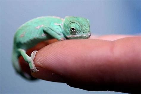tiny small little chameleon teh cute