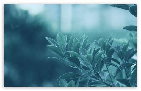 wallpaper blue leaves blue leaves 4k hd desktop wallpaper for 4k ultra hd tv