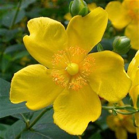 iperico fiore iperico erba di san il giardino degli angeli