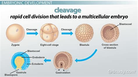 definition pattern of development diagram how an animal zygote becomes a gastrula choice