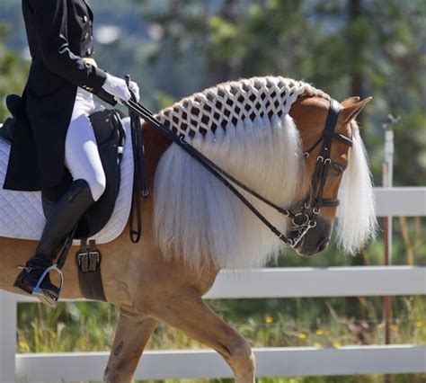 what does a rooster tail hairdo look like haflinger dressage braiding malen pinterest