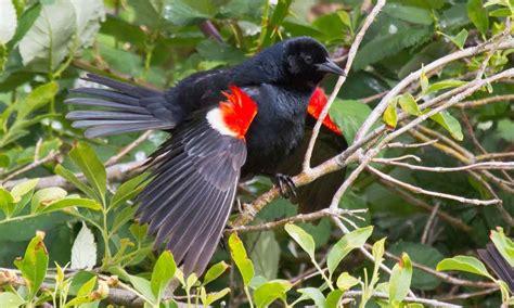 tri colored blackbird tricolored blackbird introduction neotropical birds