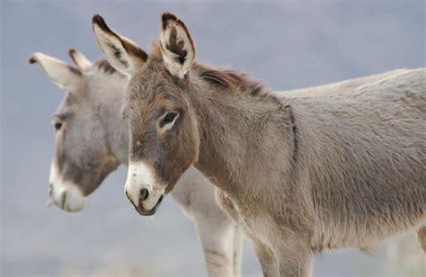 burro animal burro animais cultura mix