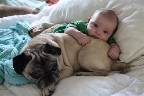 pugs and babies 9 pictures that prove babies and pugs are an absurdly adorable combination