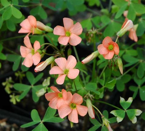 Oxalis by Narcissus Oxalis Quality Plants By Mail Order Uk