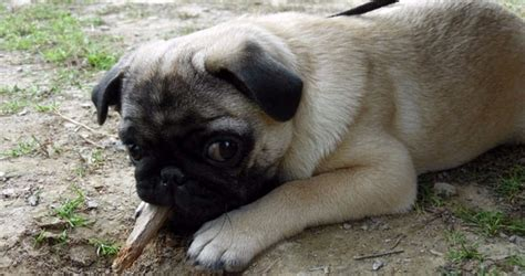 pug puppies az guidance about pug puppies for sale in arizona az
