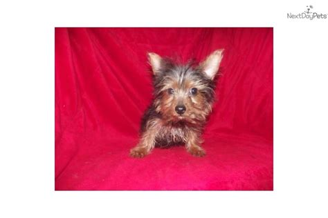 how do you potty a yorkie terrier yorkie puppy for sale near york pennsylvania 32ee3c58 15a1