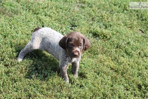 german shorthaired pointer puppies illinois gsp litters german shorthaired pointer puppy for sale near rockford illinois