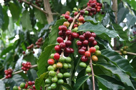 The Story of Coffee. From Kaldi's Magic Beans to Fair Trade Organic Awesomeness