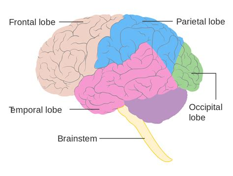 diagram of brain lobes file diagram showing the lobes of the brain cruk 308 svg