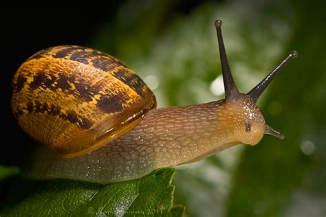 Snails In Garden by Garden Snail By Karldawson On Deviantart
