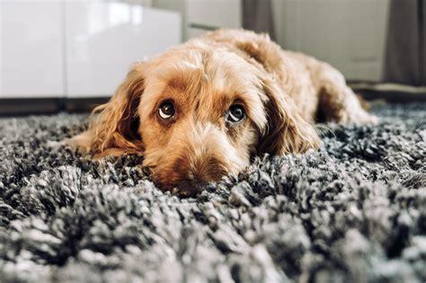 dogs  bored pet insurance australia
