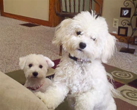 bichon frise puppy cut bichon frise puppy cut www pixshark images galleries with a bite