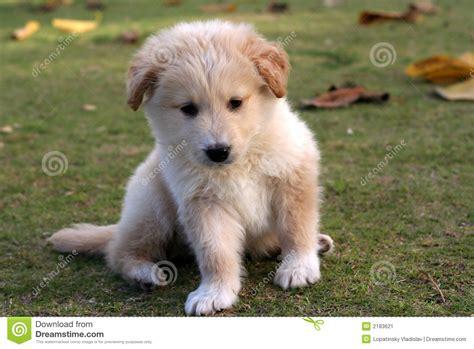 small lab small labrador puppy stock image image 2183621