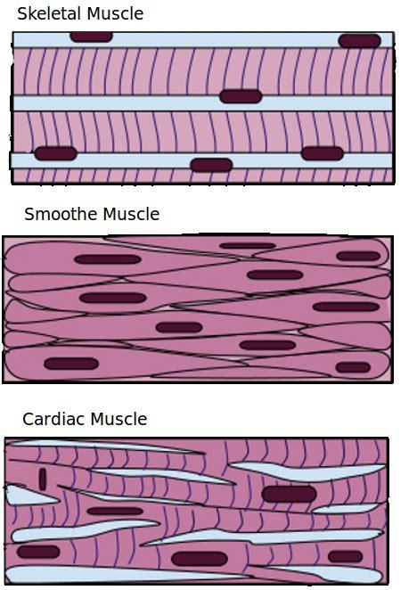animal tissues plant  animal tissues siyavula