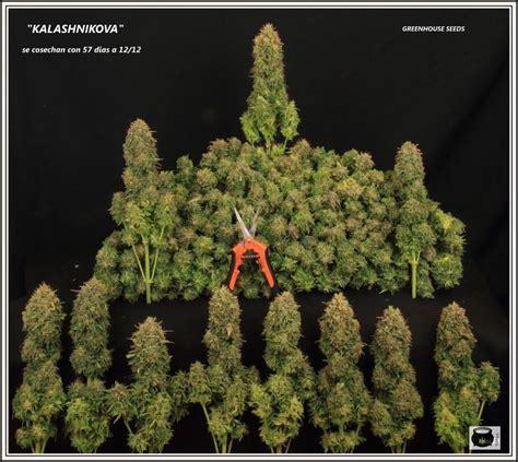 como saber cuando cortar tu planta de marihuana og kush c 243 mo y cu 225 ndo cosechar y curar la marihuana de nuestro cultivo