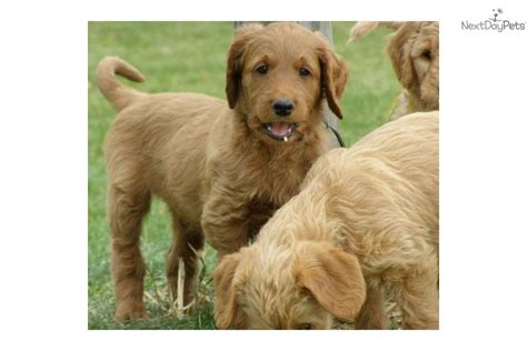doodle puppies for sale michigan labradoodle puppy for sale near the thumb michigan