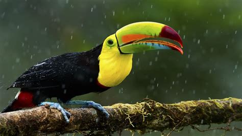 birds with colorful beaks toucan colorful birds colorful beak yellow black