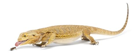 bearded dragon food & diet