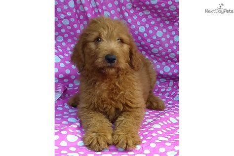 goldendoodle puppy food amount ashton goldendoodle puppy for sale near baltimore