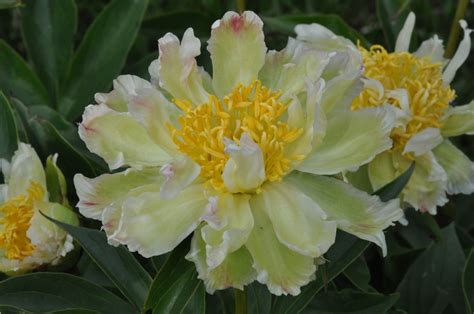 Color Of The Sun peony green lotus