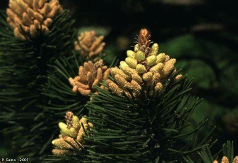 fiori maschili pino mugo fiore