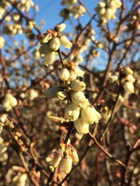 Crop Lets Keep appling county crop e news freeze protecting blueberries