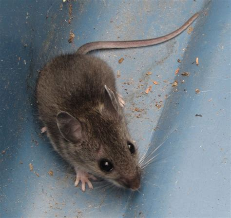 mouse in house deer mouse vs field mouse www imgkid com the image kid has it