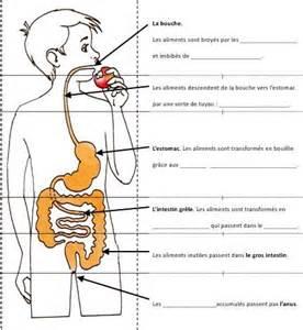 alimentation digestion au cycle iii anatomie