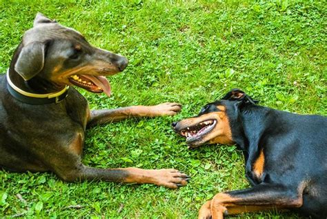bringing a new puppy home with another bring a new home for the of dobermans