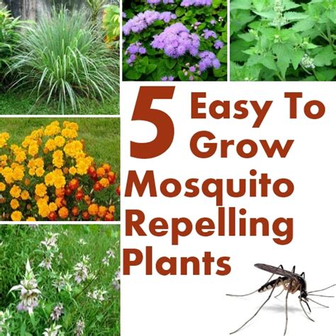 best plant for mosquito repellent 5 easy to grow mosquito repelling plants diy home things