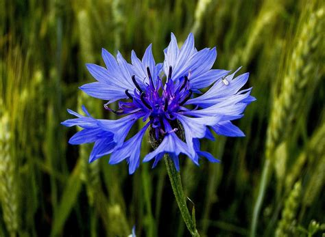 fiordaliso fiore foto fiori utili fiordaliso