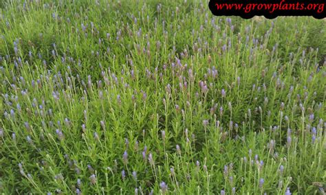 lavender plant growing grow plants