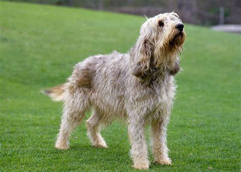 otterhound puppies otterhound breed information
