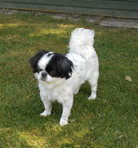 japanese chin puppies for adoption pedigree japanese chin needs new home diss norfolk pets4homes