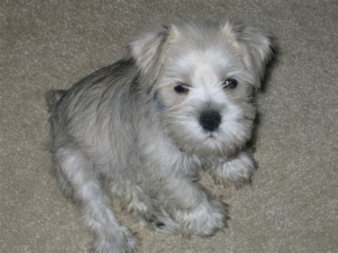 how to give a miniature schnauzer puppy a first haircut ehow cute puppy dogs white miniature schnauzer puppies