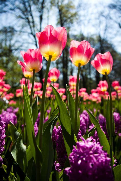 imagenes tulipanes hermosos banco de im 193 genes las mejores fotos de flores y arreglos