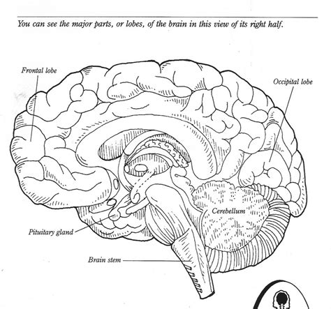 Brain Labeling Worksheet by Optic Nerve Brain Diagram Free Photos