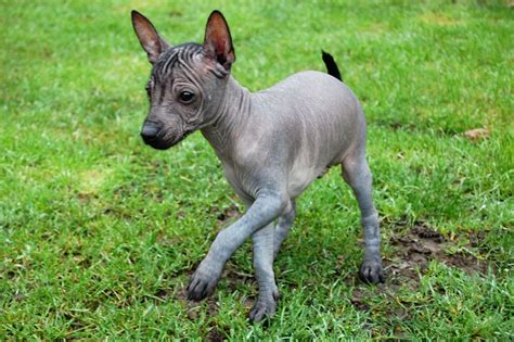 mexican hairless for sale miniature mexican hairless puppies for sale basildon essex pets4homes