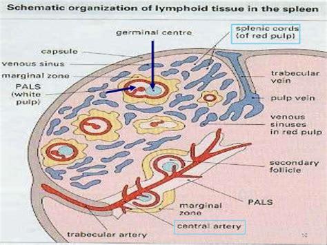 pattern analysis of inflammatory skin diseases reticular fibers diagram transitional epithelium diagram