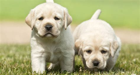 how to feed a puppy feeding your labrador puppy guide and diet chart