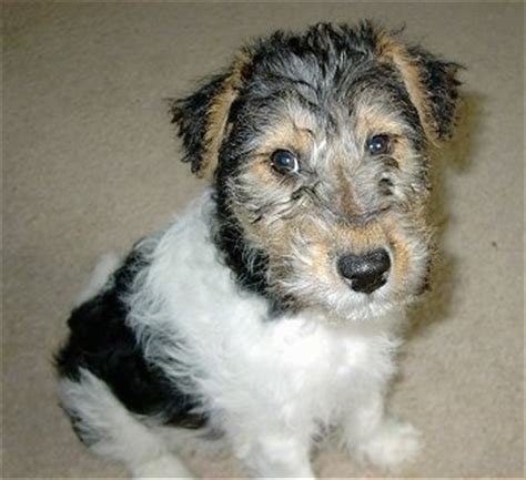 wire hair fox terrier puppies wire fox terrier breed information and pictures