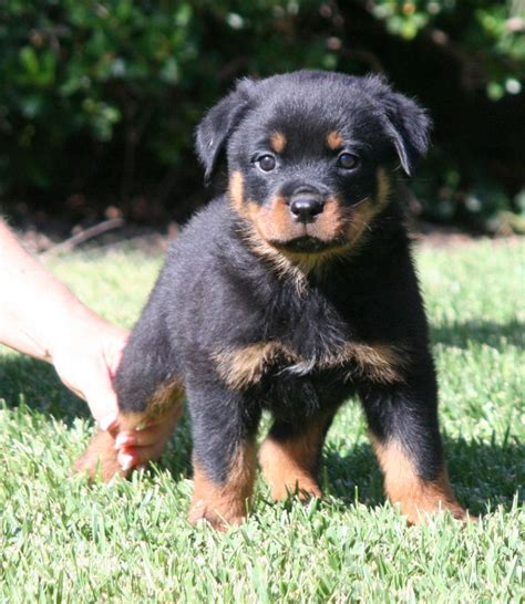rottweiler puppy images images of rottweilers puppies www imgkid the image kid has it