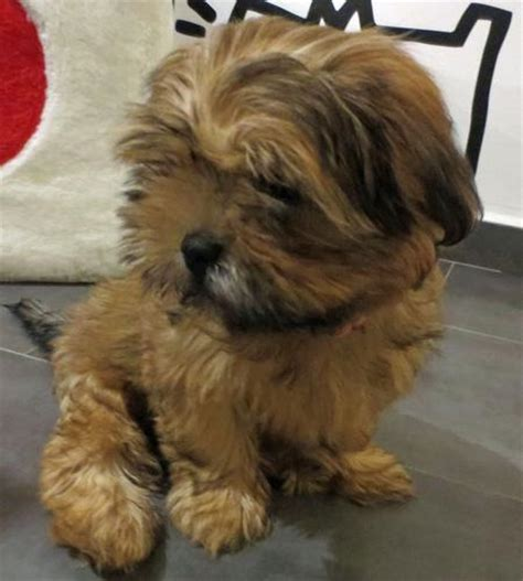 shih tzu hound mix muffin the shih tzu mix puppies daily puppy