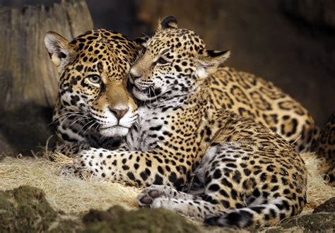 google imagenes de jaguares baby jaguars are named at the zoo
