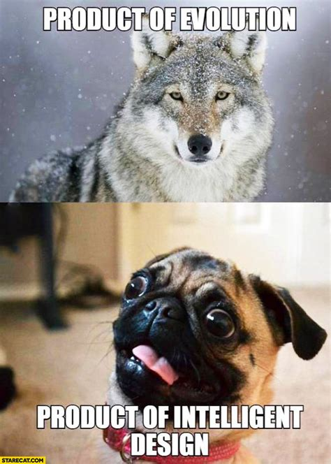 pug evolution wolf product of evolution pug product of intelligent design starecat