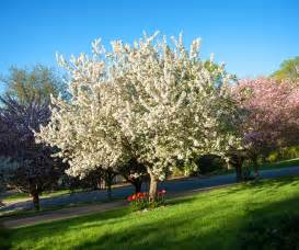 Flowering Crab Tree Pictures - crabapple tree the little gsp