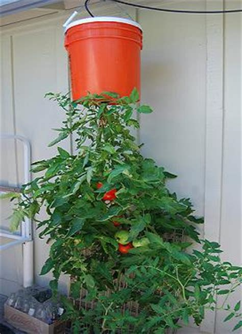 Tomato Planter Ideas by Frugal Gardening Ideas The Thrifty Gardener