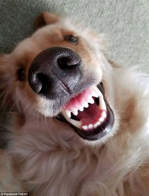 pictures of dogs smiling hilarious collection of dogs smiling will make your day 3milliondogs